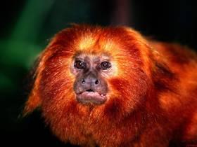 Заговор красных обезьян